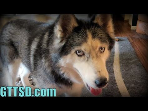 when to get a puppy fixed proximo neutered cone of shame siberian husky 10 mon doovi