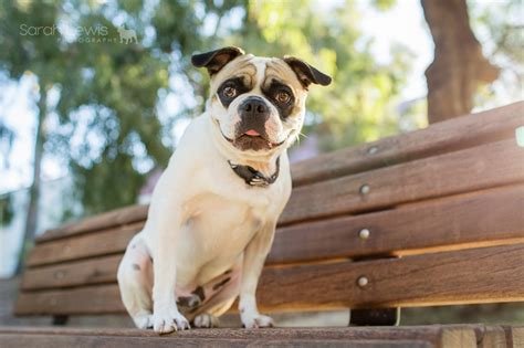 pug photography pug photography session winston the frug by lewis photography the pug diary