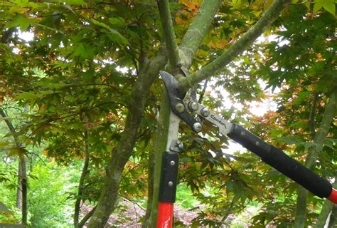 maple tree trimming when to prune japanese maple tress and make proper cuts scapecenter