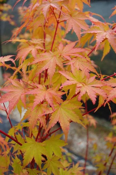 the coral bark maple has beautiful winter twigs which are the attraction with this