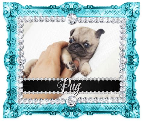 pug puppies for sale in houston shop by breed boutique teacup puppies