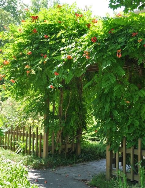 19 best pergola plants climbing plants for pergolas and arbors balcony garden web