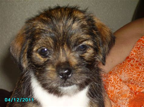 shih tzu puppies for sale in oklahoma city shih tzu puppies and dogs for sale and adoption in oklahoma breeds picture