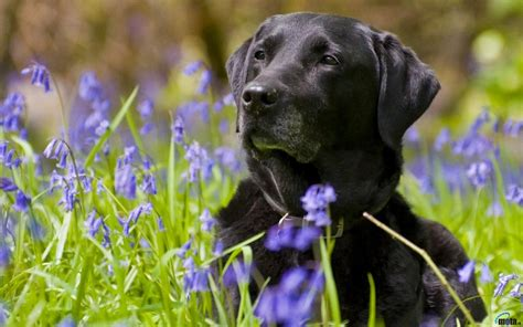 wallpaper black labrador download wallpaper black labrador retriever 1280 x 800