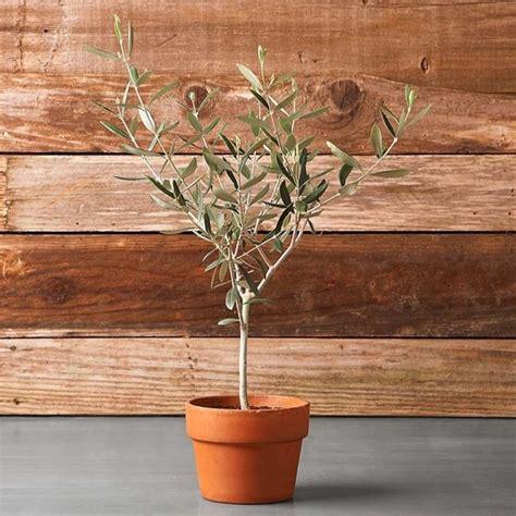 olivo in vaso olivo in vaso olivo come coltivare l olivo in vaso