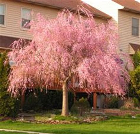cherry blossom tree zone 5 1000 images about cherry blossoms on cherry blossom tree cherry blossoms and blossoms