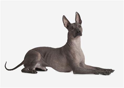 Europetnet   Mexican Hairless Dog