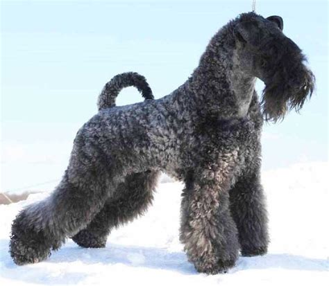 Kerry Blue Terrier Breed Guide - Learn about the Kerry ...