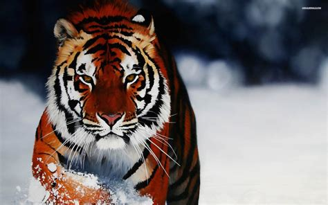 tiger tattoo hd wallpaper tiger hd wallpaper 0269
