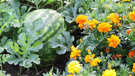 12 Best Herbs And Flowers For Companion Planting With Companion Flowers For Vegetable Garden