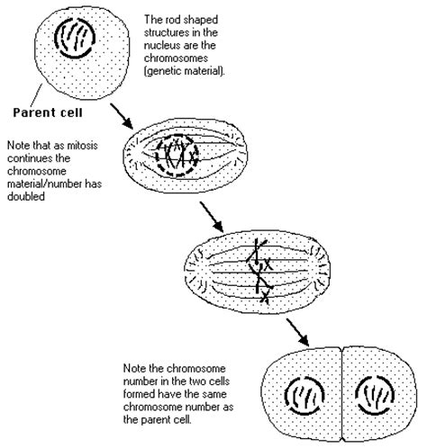 diagram exles division asexual reproduction reproduction