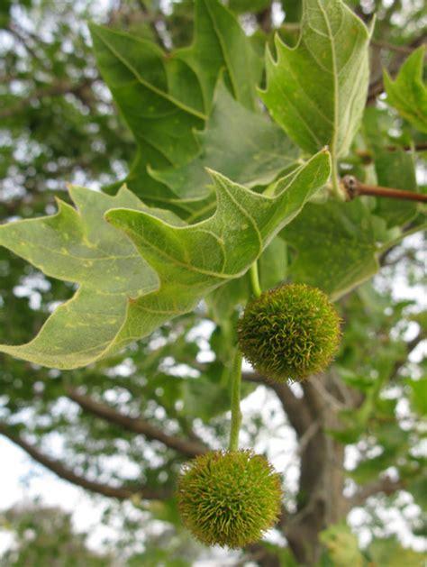 platanus acerfolia london plane tauranga tree