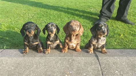 dachshund puppies for sale dachshunds dachshund puppies for sale breeds picture