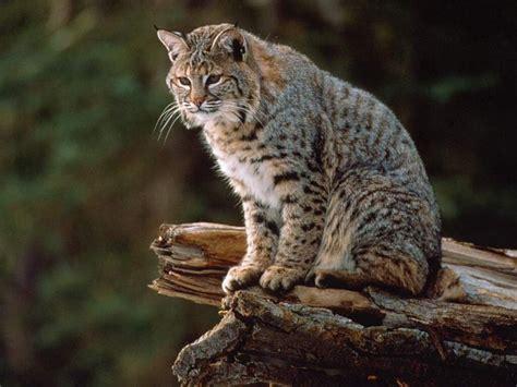 Beautiful Bobcat in the World