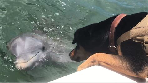 dog boat dolphin dog and dolphin become friends on captiva island boat ride