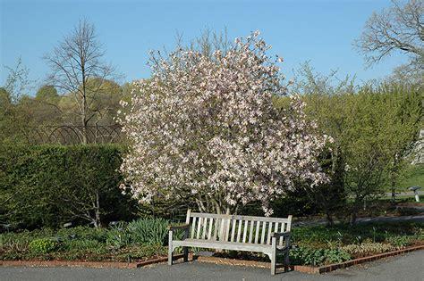 Home Design Job Description leonard messel magnolia magnolia x loebneri leonard