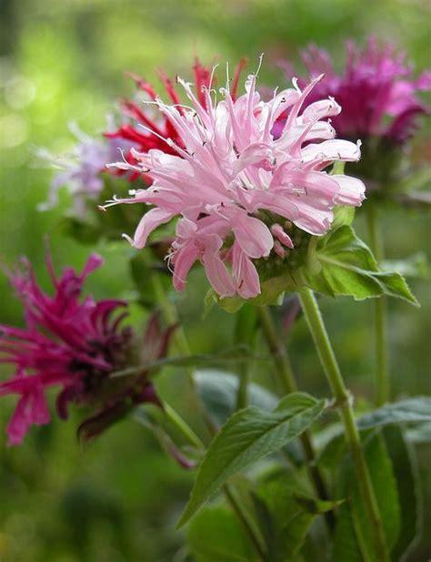 hummingbird favorite perennial bee balm monarda