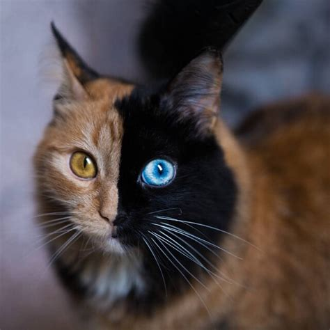half half cat beautiful chimera cat has half black with blue eye half orange with gold