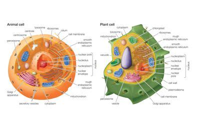 up letter between plant and animal cell animal cells and the membrane bound nucleus