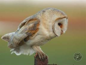 Barn Owl Facts Owl Identification What Owl Was That The Barn Owl Trust