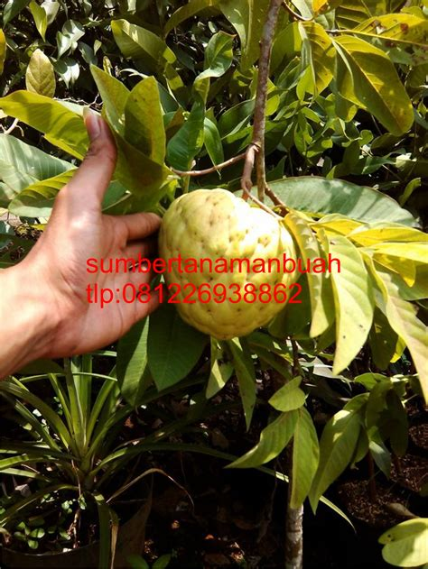 Bibit Srikaya Australia jual bibit tanaman buah unggul jual bibit srikaya jumbo