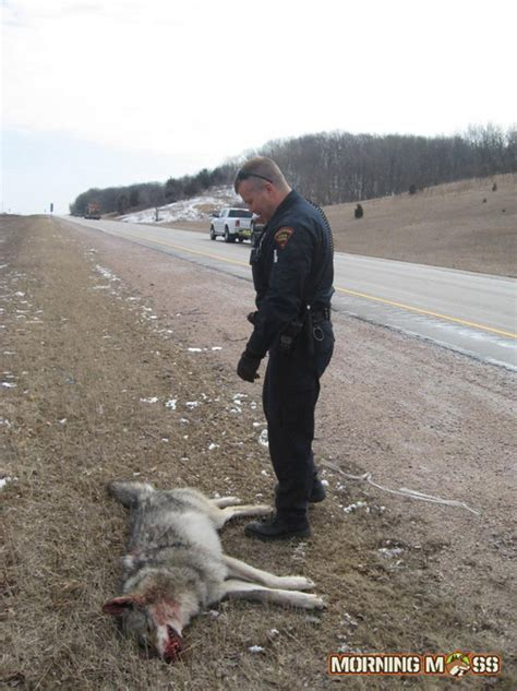 Wis Background Check Wolf Hit By Car In Portage Wisconsin