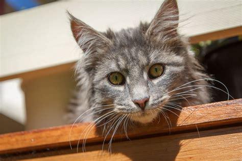 alimentazione maine coon educare un gatto problemi e necessit 224 dei gatti maine