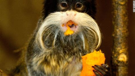 uks paignton zoo bans monkeys  eating bananas