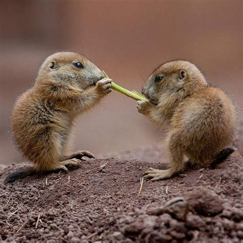 baby prairie dogs 25 best ideas about prairie dogs on smiling animals bears and
