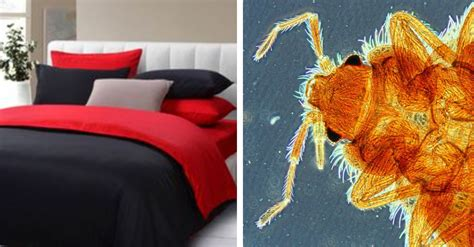 what color are bed bugs bed bug color 28 images bed bugs prefer certain colors