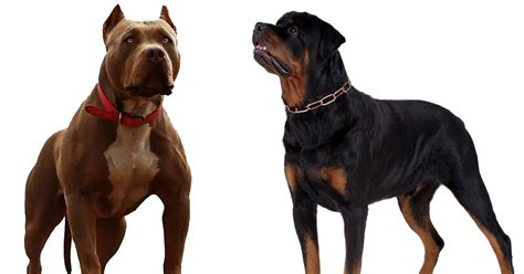 rottweilers and pitbulls rottweiler vs pitbull bhaskban daily news analysis exclusives photos
