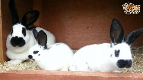 Petit Papillon Baby Sale by Pedigree Papillon Baby Bunnies For Sale