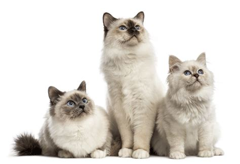 cat breeders birman breeders australia birman info kittens