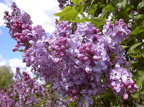 gardening landscaping shrubs for full sun lavender lady shrubs for full sun decoration plant