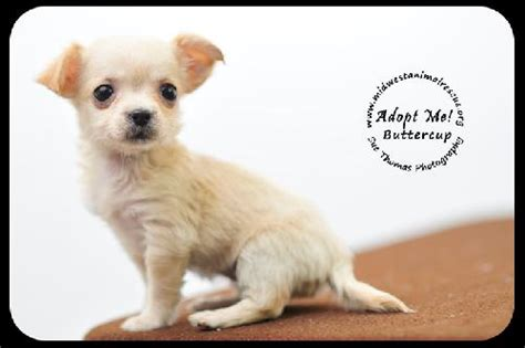buttercup puppies buttercup puppy s web page