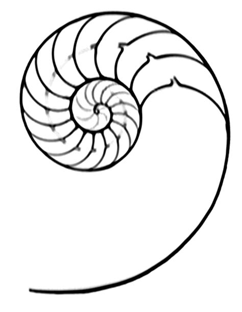 file nautilus pompilius section cut jpg wikimedia commons