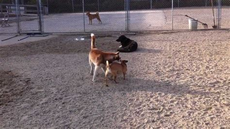 daycare portland maine siberian husky and puggle wrestle at daycare happy tails in portland maine
