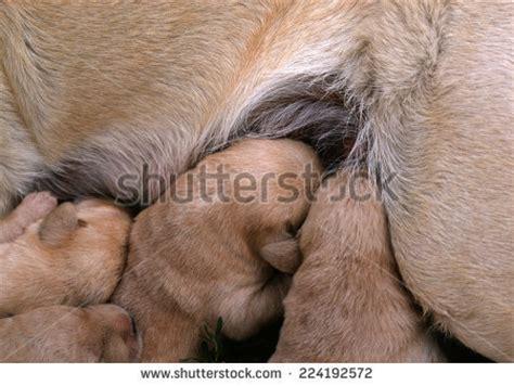 newborn puppy milk cubs nursing stock photos images pictures