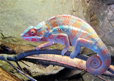 how addressable are the pixels on a chameleon s skin in