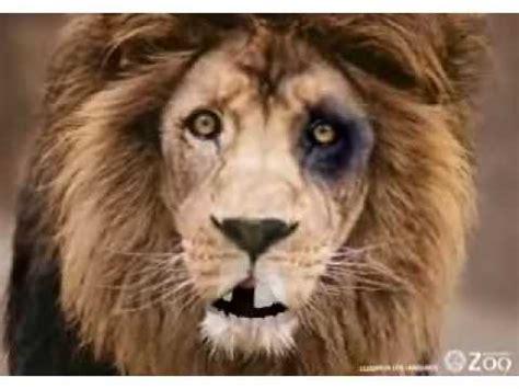 imagenes de los leones del caracas chistosas leones del caracas llorando porque los joden los tigres de