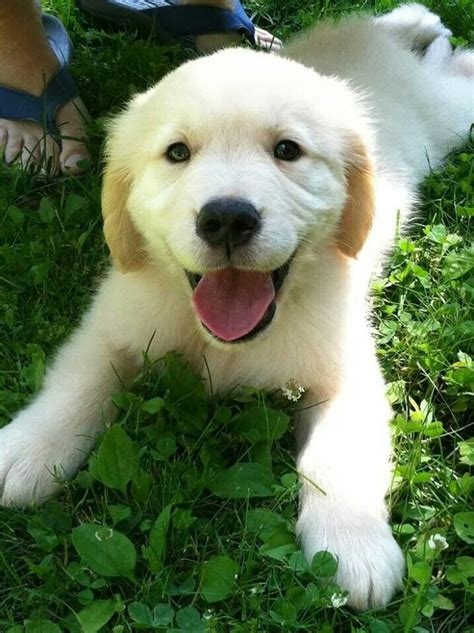 comfort retriever puppies for sale pin by liss b on comfort retriever pinterest