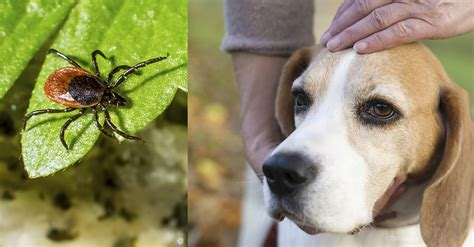 tick paralysis in dogs tick paralysis in dogs