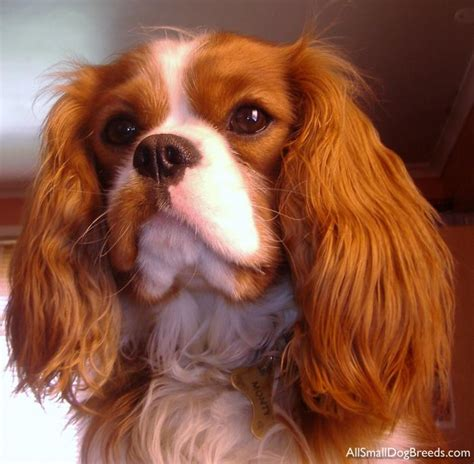 King Cavalier Spaniel Shedding by Pictures Of All Spaniel Breeds Breeds Picture