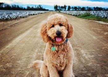 goldendoodle puppy allergies allergy friendly goldendoodle and labradoodle dogs