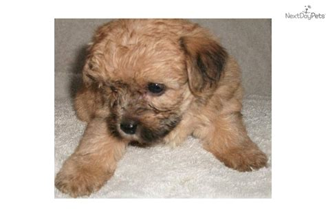 yorkie poo puppies for adoption yorkiepoo yorkie poo puppy for adoption near 61d9e517 42b2