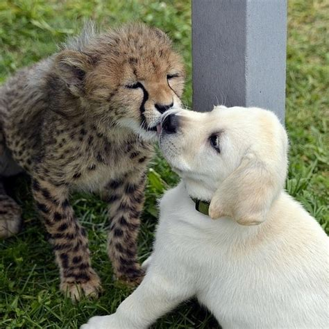 cheetah puppy baby cheetah and puppy at columbus zoo cool digital photography