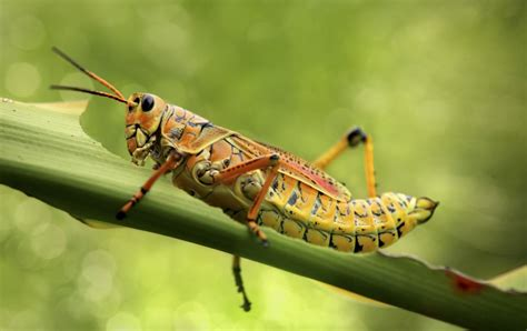 Would You Eat This Grasshopper Snack by Unimaginably Fabulous Facts About Grasshoppers