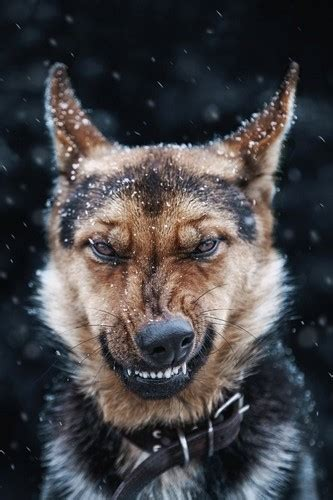 angry puppy dogs images angry hd wallpaper and background photos 37981489