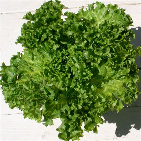 Hydro Seed Lettuce Grand Rapid heirloom seeds growing a sense of security naturally