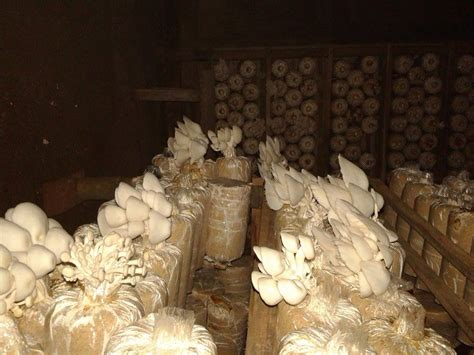 Bibit Jamur Tiram Putih jamur tiram putih pengusaha muda asal gembong pati